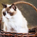 white, long-haired, siamese cat in basket