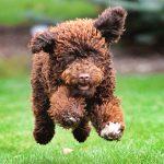 shaggy puppy running through yard