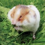 hamster in a field of grass chewing on dandelion leaves